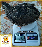 Яйца инкубационные перепела Фараон (селекция Espana) Одесса