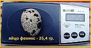 Инкубационные яйца перепела Феникс Золотистый - (селекция Франции) Одесса