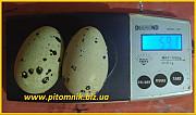 Яйца инкубационные перепела для маточного стада Одесса