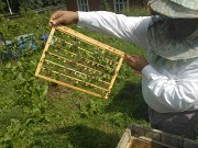 Пчелы Карпатской породы: пчелопакеты и плодные меченые матки Мукачево