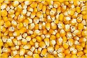 Пшеница, кукуруза - оптом мелким и крупным Одесса