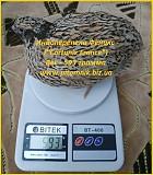 Яйца индопелка инкубационные Одесса