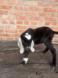 Продам козлят нубийской породы Тульчин