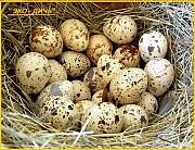 Яйца инкубационные перепела Фараон (селекция Испания) Одесса