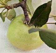 Клетчатка пищевая волокна пищевые яблочные Киев
